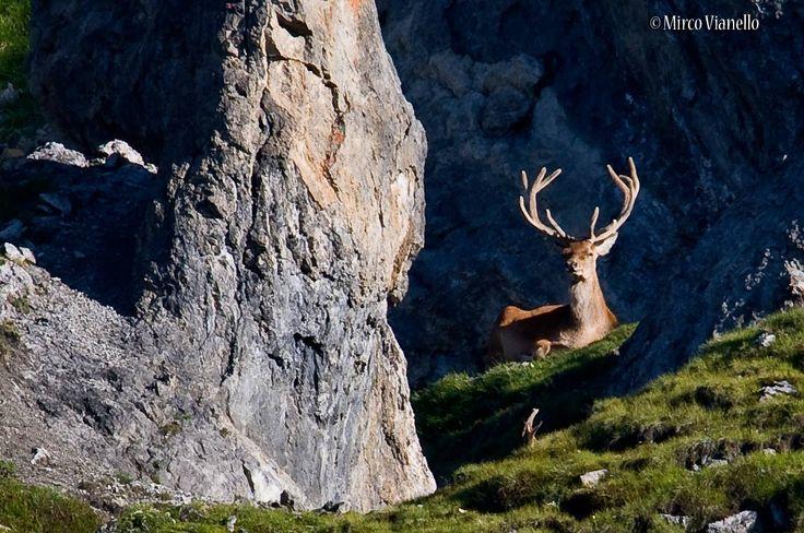 ho dovuto tirar fuori tutti i mm che avevo a disposizione per poterlo fotografare, ma meglio che niente, i più belli è difficile scovarli. per saperne di più sul cervo: http://www.livignese.it/cervo.php