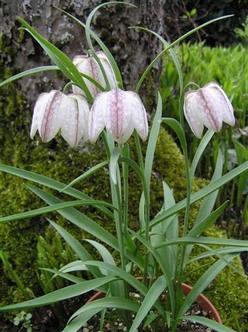 87 best FRITILLARIA images on Pinterest Flower gardening