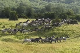 National Hungarian Lipicai Stud, Grazing in the Bükk Hills
