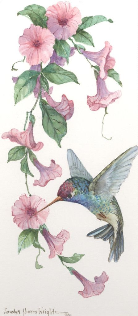 Broad-Billed Hummingbird with Morning Glories 7 x 13 watercolor