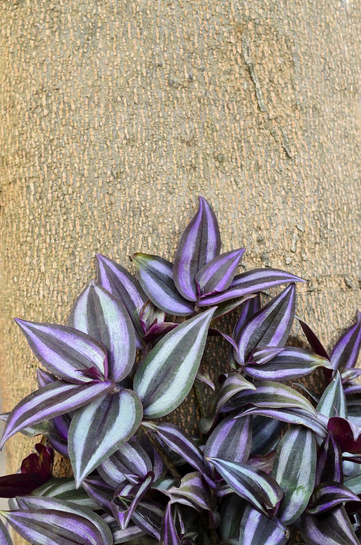 The wandering jew plant is truly one of the easiest plants to grow as a houseplant due to its adaptability. But can wandering jew survive outdoors? Read this article to find out if this is an option for you.