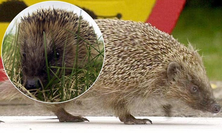 Be careful on the roads! The hedgehog on list of Britain's 10 most endangered species