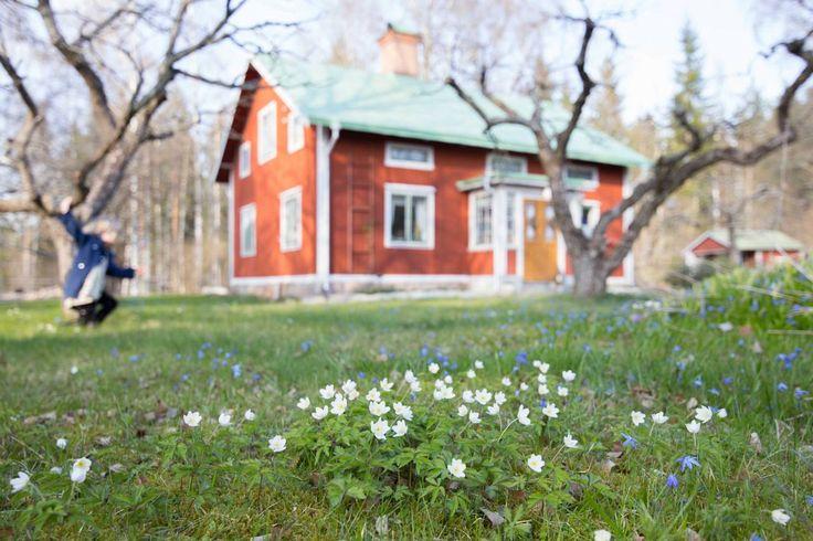 Vitsippor i trädgården. Foto: Erika Åberg