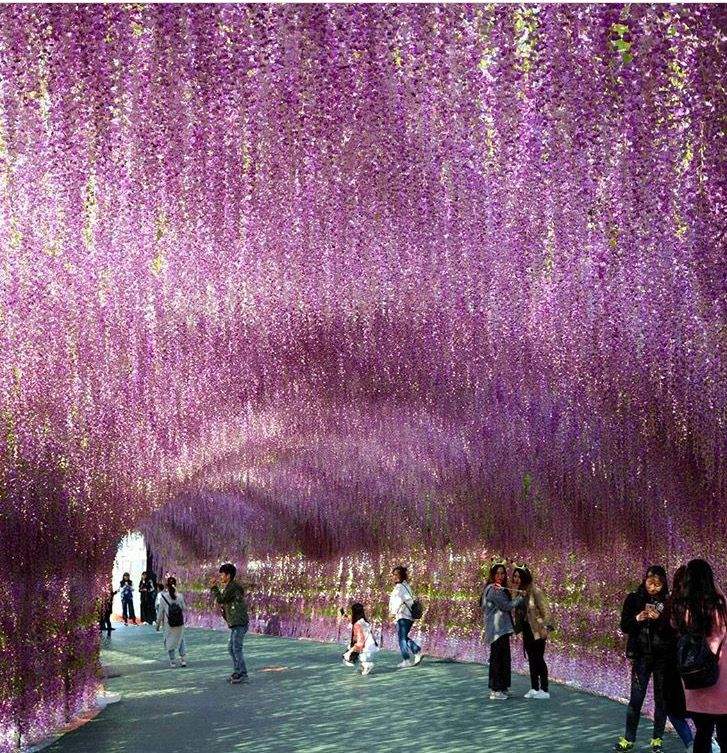 The Economist- 200 metre long arcade of lavender in Shenyang, Liaoning Province, in China