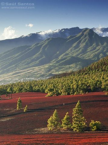 Canary Island pines colonising lava flows, Palma Canarias Spain