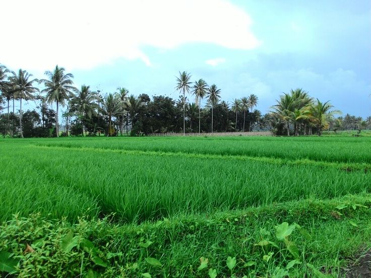 Green Ricefield.