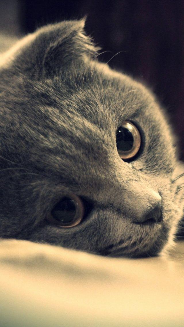 Wallpaper Cat Briton Gray Eyes British Look