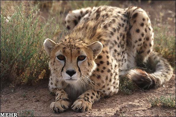 Iranian Cheetah - Khar Turan national park, last shelter for asian cheetah, South East of Sharoud, Semnan province, IRAN (credit: Mehr News Agency)