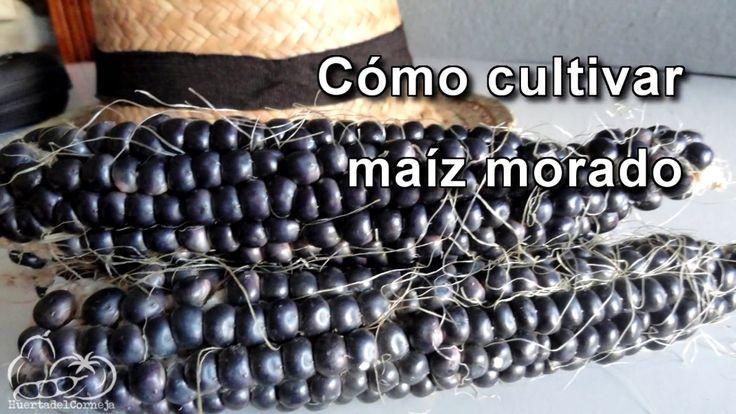 Cómo sembrar y cultivar maíz morado