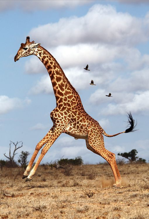 Giraffe jumping after seeing a spider on the ground! Yikes! ❤ by Manuelo Bececco -- National Geographic.