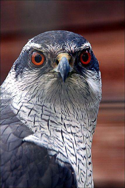 Bird of Prey by Astrid van der Berg, via Flickr