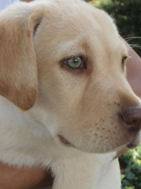 78 Best images about Labrador Retrievers Club on Facebook on Pinterest ...