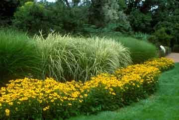 Easy Gardening -   Miscanthus (Ornamental Grass) with Black Eyed Susan (Rudbeckia)