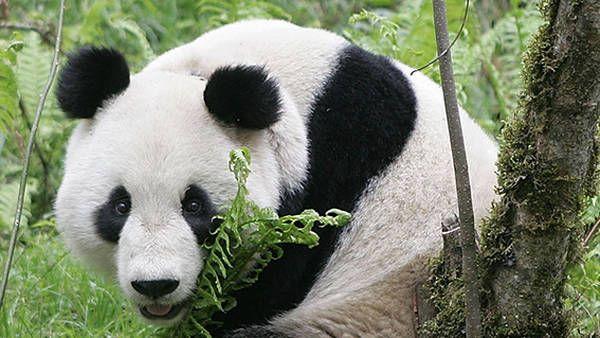 Los osos panda gigantes se pueden ver en China, pero están en peligro de extinción./ Daniel Rodríguez