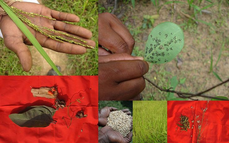 Medicinal Rice based Tribal Medicines for Diabetes Complications and Metabolic Disorders (TH Group-747) from Pankaj Oudhia's Medicinal Plant Database. Encyclopedia of Tribal Medicines by Pankaj Oudhia. #TribalMedicines