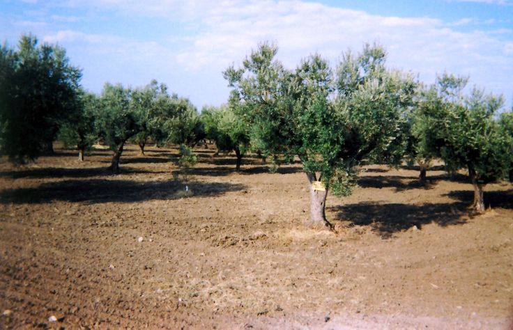 The term terroir by definition identifies the interaction between various factors detectable in all of the geological, climatic and physical conditions of the area in which is located an olive grove.