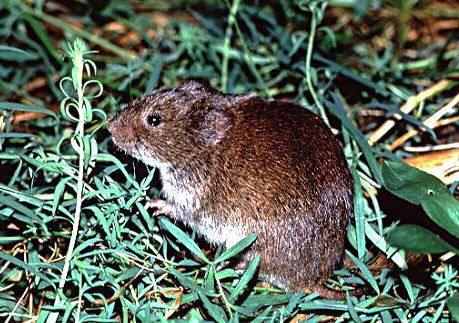 how to get rid of voles in utah