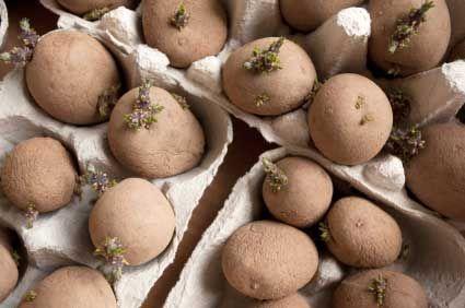 Sättpotatis i äggkartonger