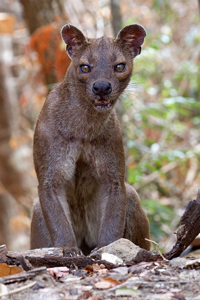 Fossa - Kirindy Forest, Madagascar. The fossa is a cat-like, carnivorous mammal endemic to Madagascar. It is a member of the Eupleridae, a family of carnivorans closely related to the mongoose family.