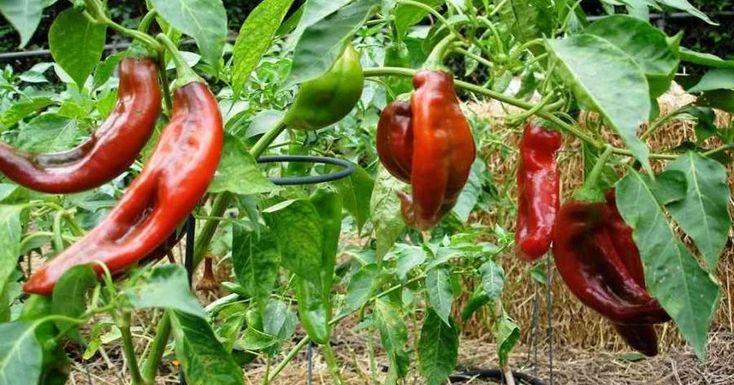 ¿Te gustan los pimientos?, ¿qué te parece si los cultivamos en casa?