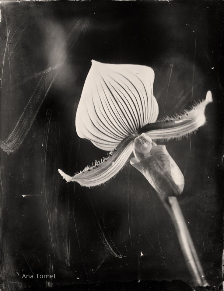 Funny Orchid (Paphiopedilum) 18x24 cm Ambrotype on Clear Glass February 2013 © Ana Tornel