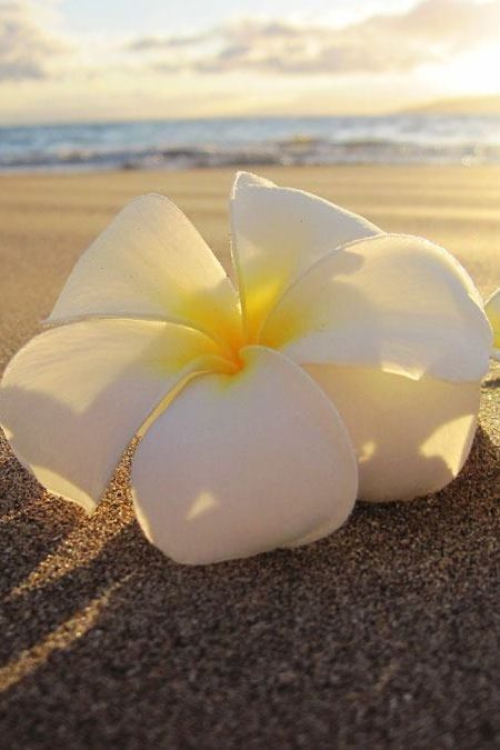 This flower remembers me of far away holiday's where the sun always shines, smiling people and sandy beaches!