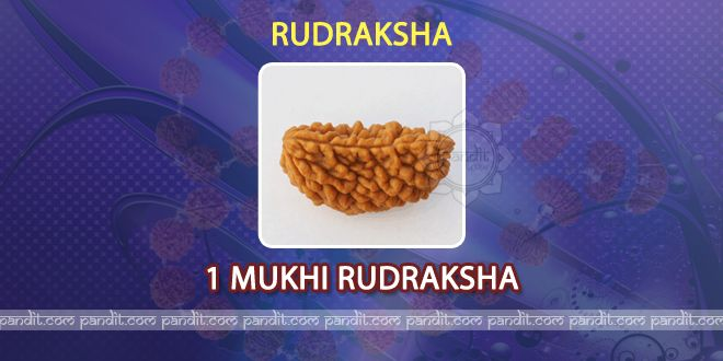 1 mukhi Rudraksh by Acharya Rahul Kaushal  --------------------------------------------------------- It is found in bunches on trees and Presence of number of lines on it shows its type. For example if count of lines on Rudraksh is 4 then it is called Chaar mukhi Rudraksh. Basically it started from 1 mukhi to 14 mukhi according to count of lines on it. Every Rudraksh has its own importance and advantages. http://www.pandit.com/1-mukhi-rudraksh/