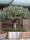 Buy Dracaena Draco Dragon Tree Plants, For Sale Online, How to grow  care for.