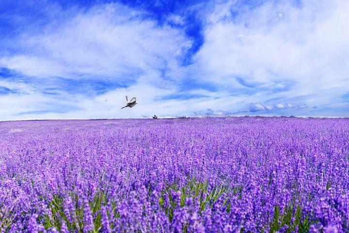 夏の北海道 富良野ラベンダー畑 にハネームーン♡
