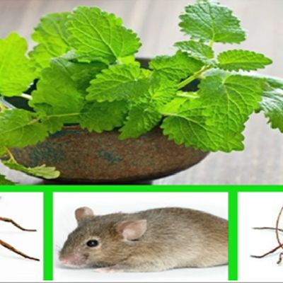 #MintRepelBugs A plant called #mint is the solution you need. This plant has characteristic fresh scent and most commonly is used cuisines and some people use it due to its therapeutic properties. And here's what you should do in order to repel spiders and cockroaches in your home: first brew some fresh mint tea, let it to cool down and then pour it in a spray bottle. After that, spray the tea in all rooms in your home, and don't forget the dark corners and wall crevices. With this simple…