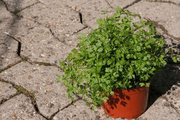 Kaninchen-Ernährung, Echter Kerbel, -- Trybula ogrodowa (Anthriscus cerefolium) -- Zioło przyspiesza trawienie oraz łagodzi wzdęcia.