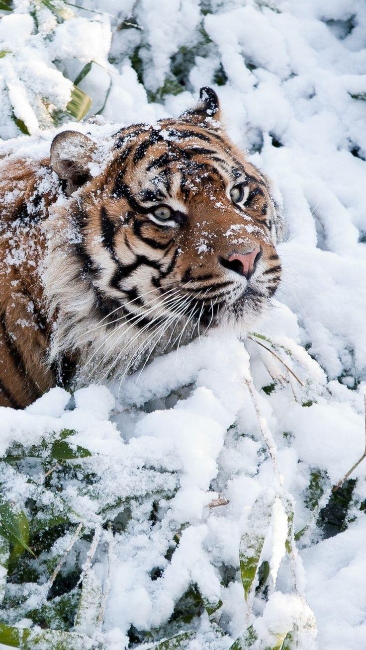 Amazing wildlife. Tiger and snow photo #tigers
