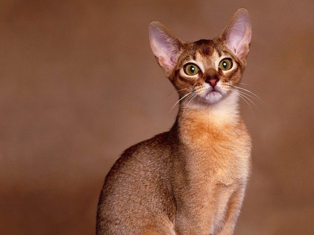abysinian cat   Animals Cats Dogs Birds News » Blog Archive » Abyssinian Cats