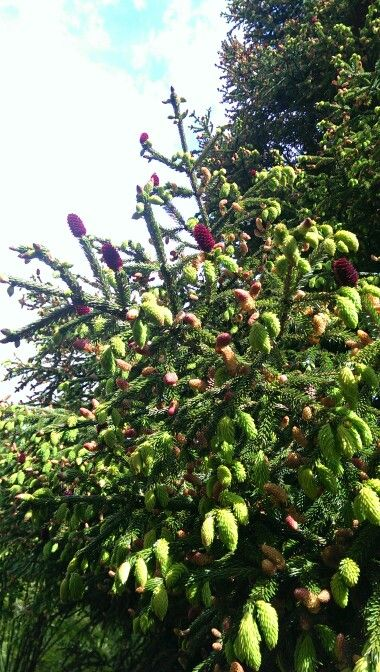 Picea likiangensis'Purpurea'