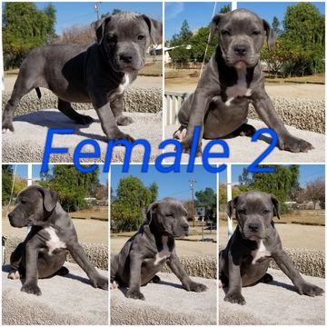 Litter of 8 American Bully puppies for sale in HOMELAND, CA. ADN-62019 on PuppyFinder.com Gender: Male(s) and Female(s). Age: 9 Weeks Old