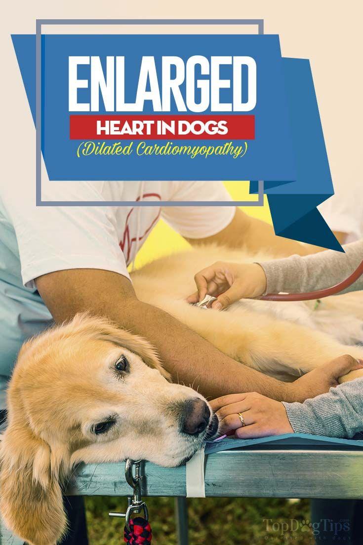 Soplo Cardiaco En Perros Sintomas Y Tratamiento Heart Murmur