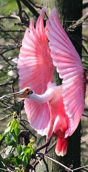 Male Spoonbill returning to the nest where the female is arranging it. #Photograph by  Alfred Calabrese Jr #bird rosa pink animal pet nature amazing
