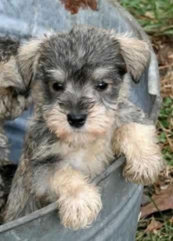 1000 Ideas About Miniature Puppies On Pinterest