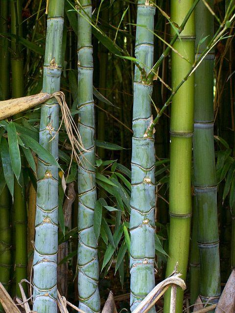 Phyllostachys aurea ist ein straff aufrecht wachsender Bambus,dessen Endhöhe bei 4 m bis 5 m liegt. Phyllostachys Aurea wird in der Umganssprache auch Knotenbambus und manchmal auch Goldrohrbambus genannt. Knotenbambus ist...