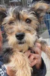 ... on Pinterest | Mini schnauzer puppies, Puppys and Norfolk terrier