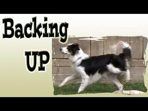 #dogs #training #tricks Train a dog to back up at a distance... www.pamsdogtraining.com