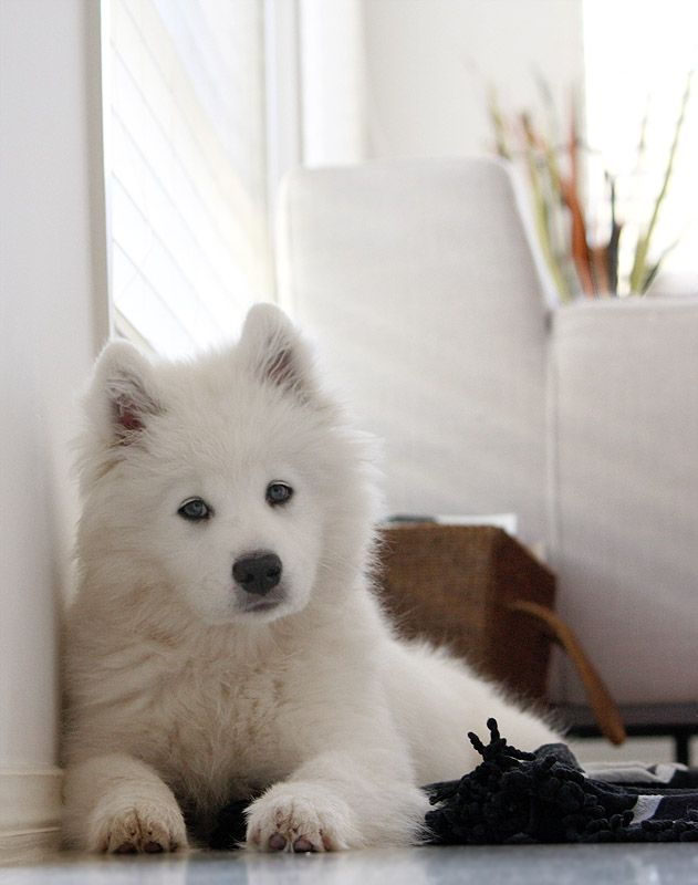 Samoyed puppy...I was blessed enough to have a beautiful girl like this for 12 years. The most amazing dog ever...snowflake. She was my best friend.