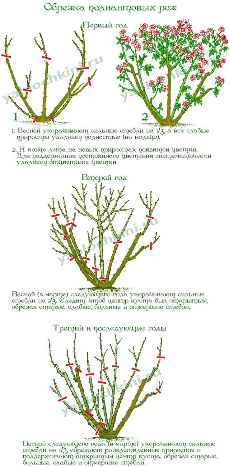 обрезка-полиантовых-роз