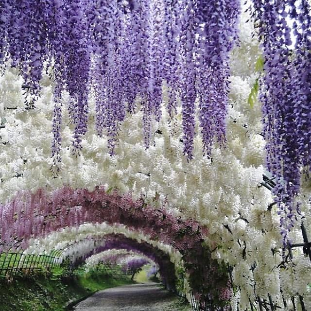 This Wisteria Flower Tunnel In Japan Is The Most Magical Place Ever Japan Travel Japan Vacation