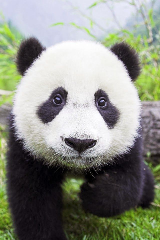 Adorable Panda = Source material #1 --> For Panda drawing/character ;)
