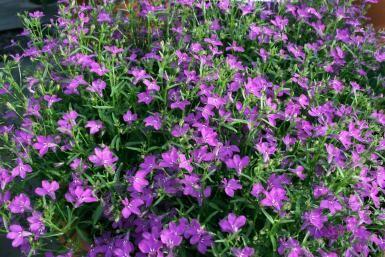 Sinilobelia | Pirilän Kukkatalo