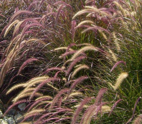 pennisetum setaceum rubrum picture