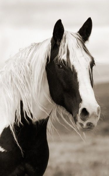 Black And White Paint Horse Pinto Huge Blaze Cute Fuzzy Nose