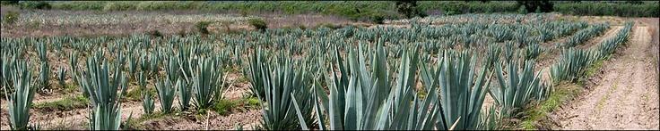 Mezcales de Oaxaca, Mezcal de Oaxaca Mexico