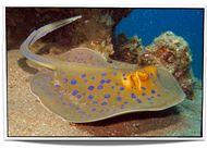 Blue Spot Stingray for Sale
